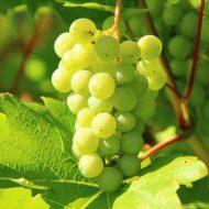 С какого возраста можно давать виноград ребенку: с косточками и без косточек